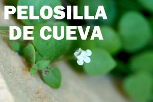 pelosilla-de-cueva-flor-color-blanco