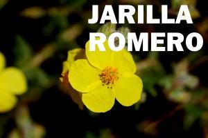 Jarilla romero flor color amarilla