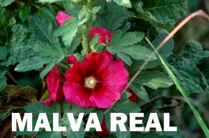 Malva real flor color rojo