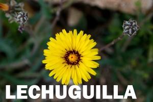 lechuguilla flor color amarillo