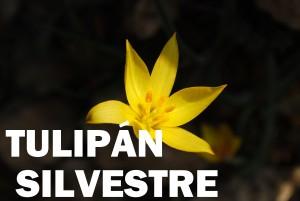 tulipán silvestre flor color amarilla