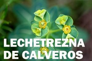 lechetrezna de calveros flor corlor verde