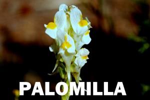 palomilla flor color blanca
