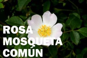 rosal mosqueta comun flor color blanca
